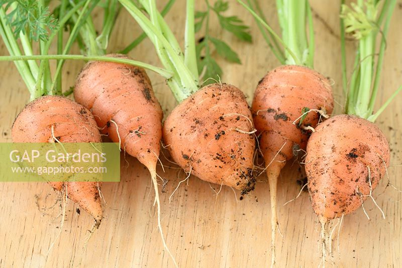 Daucus carota  'Chantenay Red Cored' - Carrot - freshly pulled young carrots