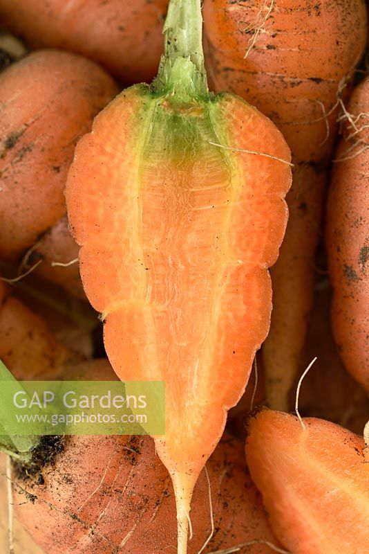 Daucus carota 'Chantenay Red Cored' - Carrot - freshly pulled young carrot  cut in half