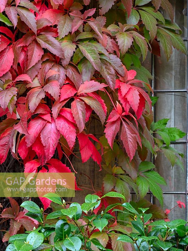 Parthenocissus quinquefolia - Virginia creeper around window in ancient building