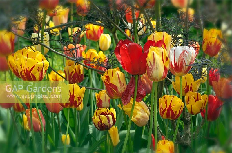Tulipa - Yellow and red tulips - East Ruston Old Vicarage garden