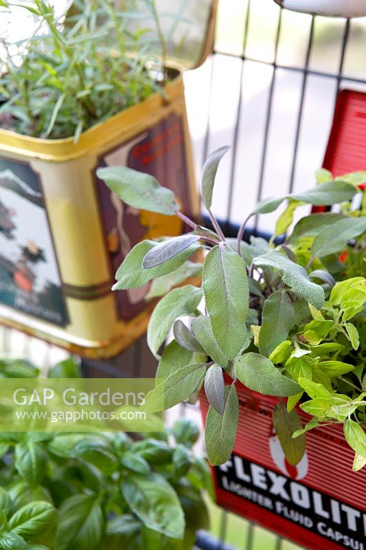 Sage growing in old container, Salvia officinalis