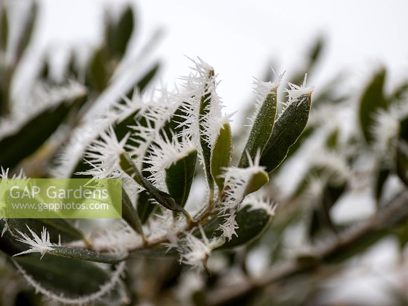 Frost on a Olea europaea - Olive Tree