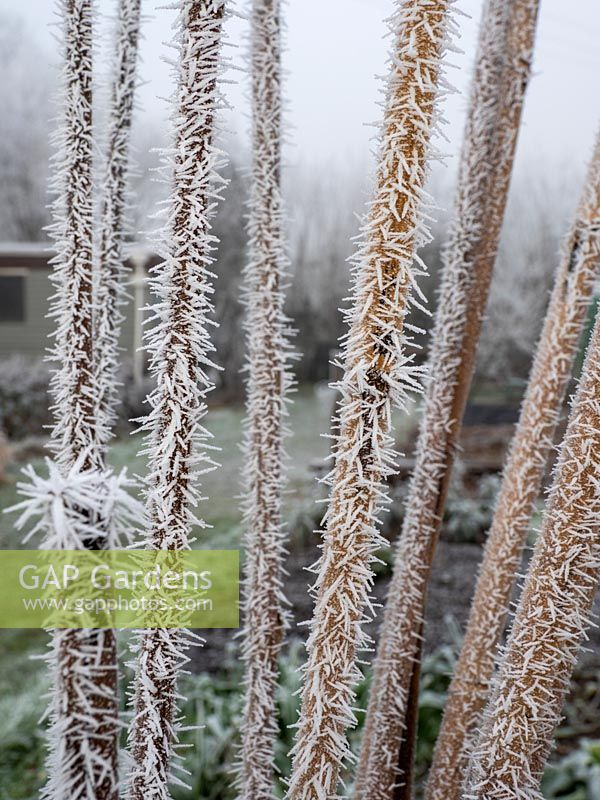 Frosted red current stem