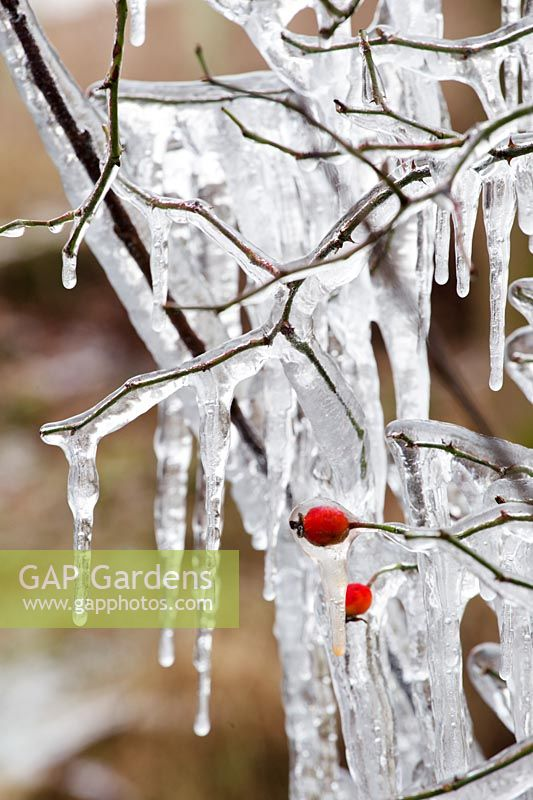 Frozen dripping branches and hips of wild rose