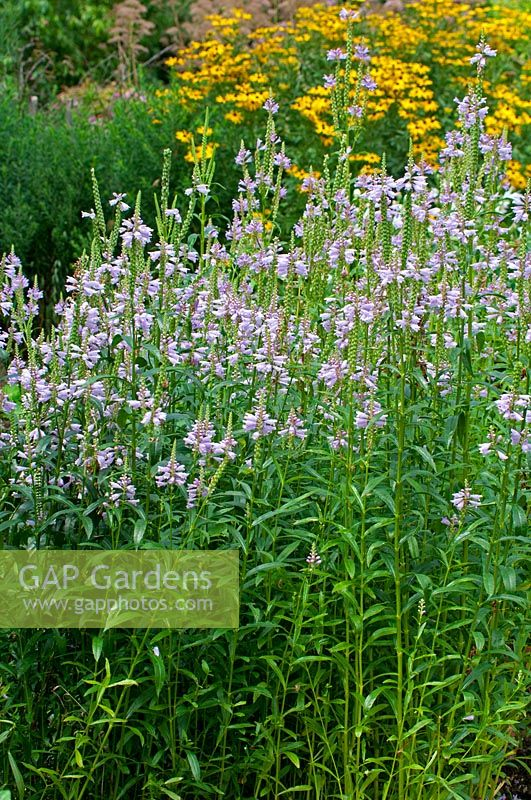 View of mixed border featuring Physostegia virginiana