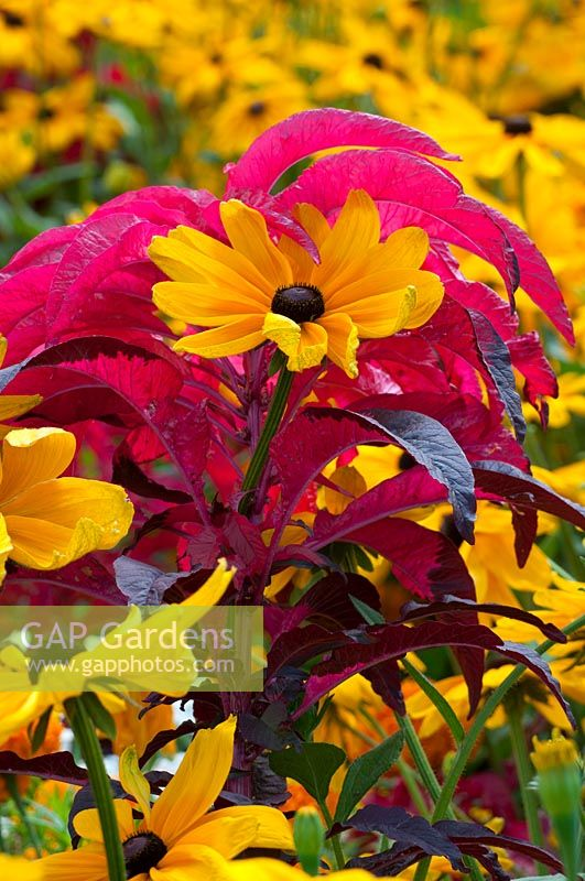 Plant combination of Amaranthus tricolor and Rudbeckia