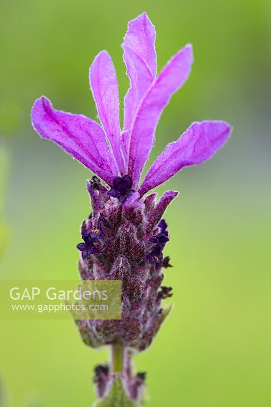 Lavandula stoechas - Madrid purple