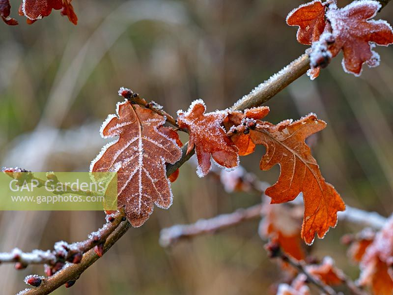 Quercus robur - common oak leaves covered in hoar frost