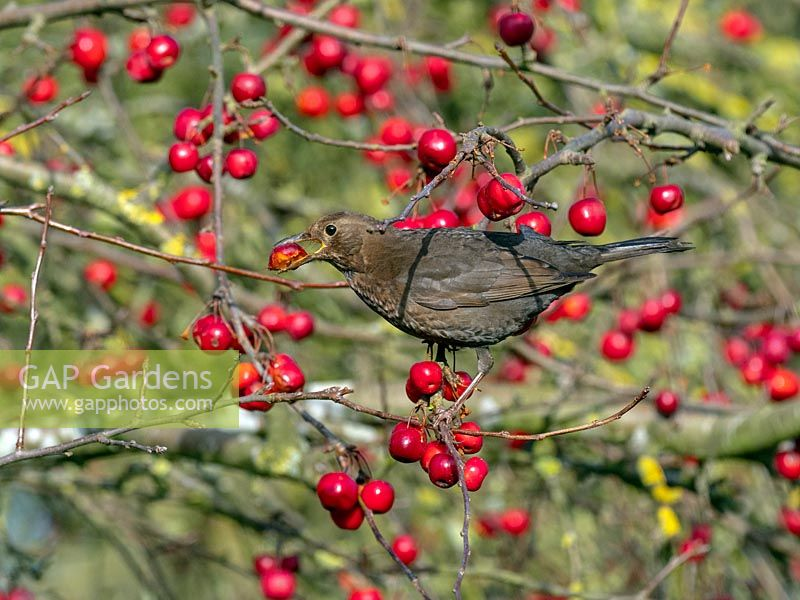 Blackbird - Turdus merula feeding on ripe crab apples