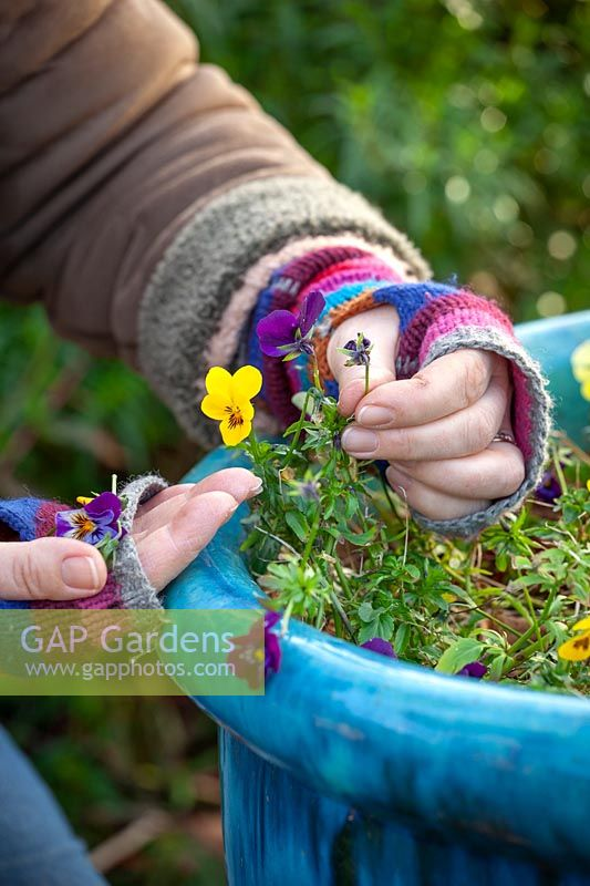 Deadheading pansies to get them back into growth when weather warms