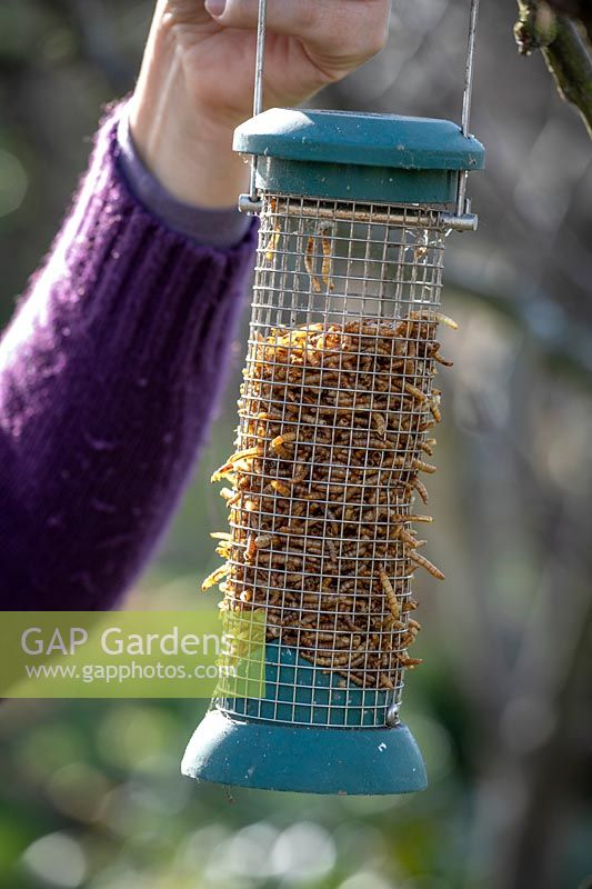 Putting up hanging bird feeder filled with mealworms.