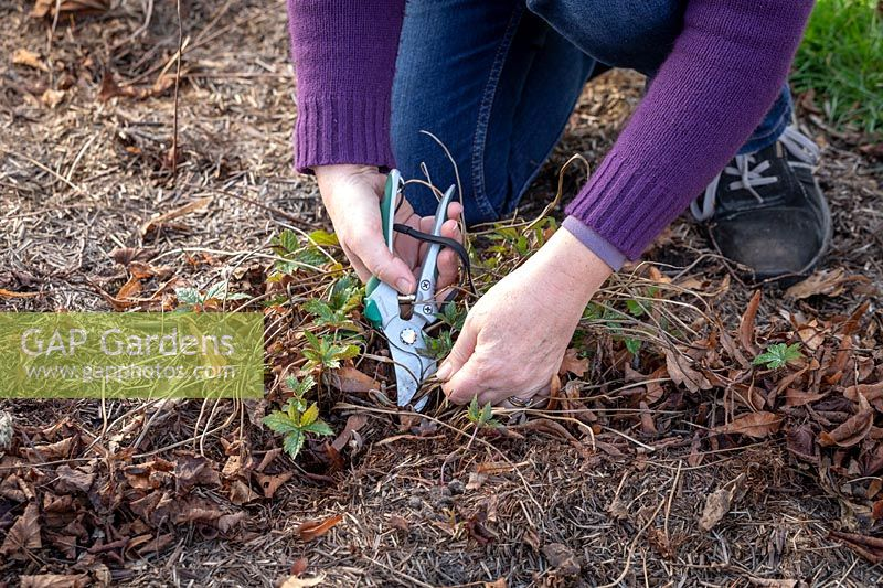 Removing old dead leaves from a perennial geranium in spring to encourage growth and discourage disease.