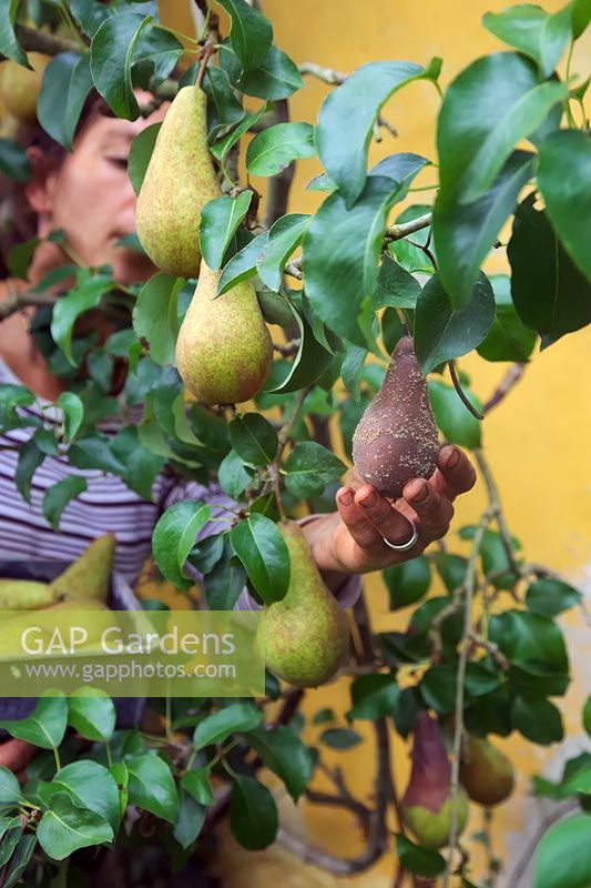 Gardener picking Pyrus communis 'Concorde' - Pear - fruit, rotten fruit also removed