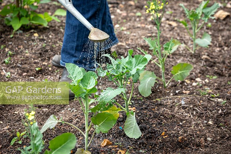 Watering young Calabrese plants - Green sprouting broccoli