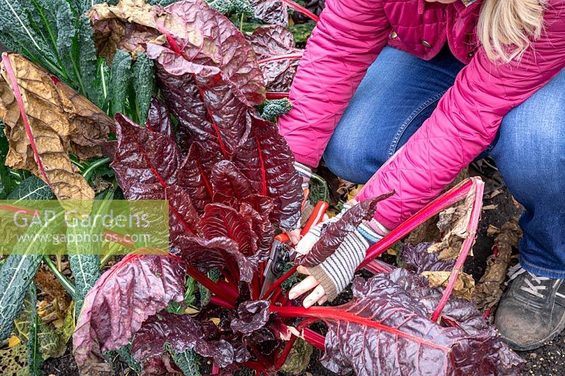 Harvesting chard that has already started to be hit by frost.