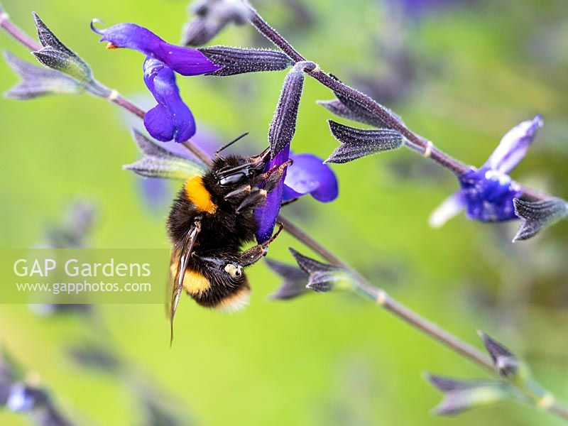 Bee visiting Salvia greggii 'Blue Note' flower