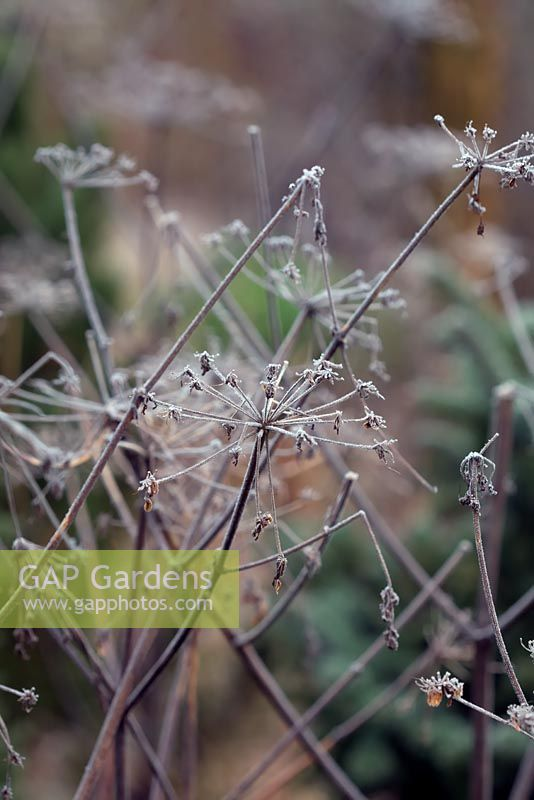 Angelica sylvestris purpurea with hoar frost in January.