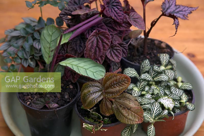 Selection of high humidity houseplants including Fittonia, Peperomia, Pilea, Ficus, Maranta, Begonia, Spathiphyllum and Pellalea - Step by step - How to plant a bottle garden