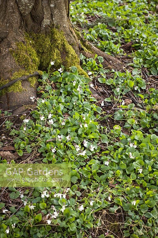 Viola sp. - White Violets blooming at base of Purple-leaf Plum trunk
