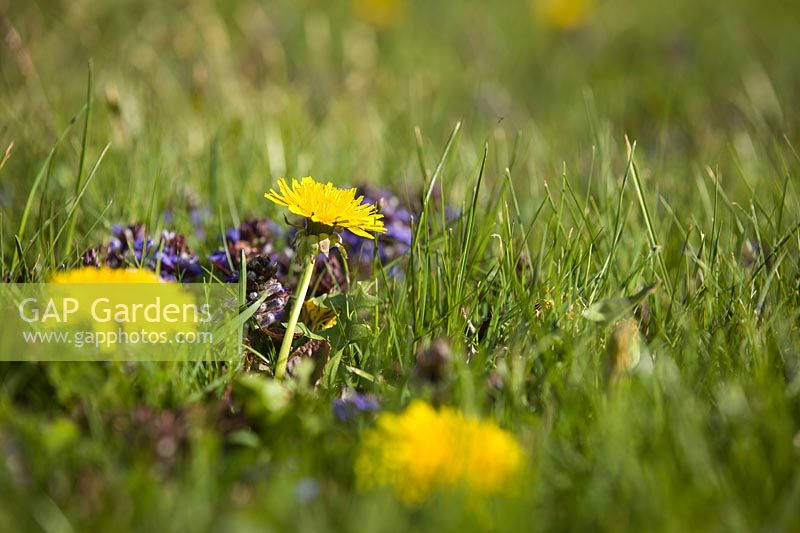 Taraxacum officinale - Dandelion - and Ajuga reptans - Bugle - blooming in a lawn