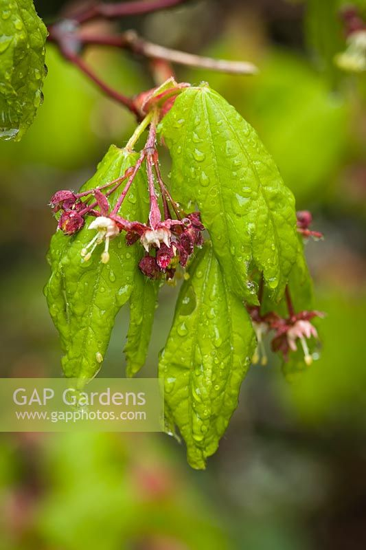 Acer circinatum - Vine Maple - blossom and foliage detail with raindrops