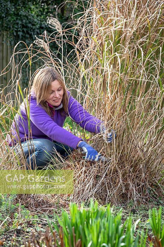Pruning deciduous grasses by cutting back in spring. Using secateurs to avoid damaging green growth - Miscanthus sinensis