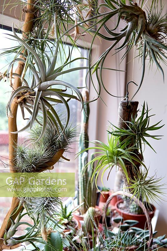 Agaves, cactus and tillandsia beside window