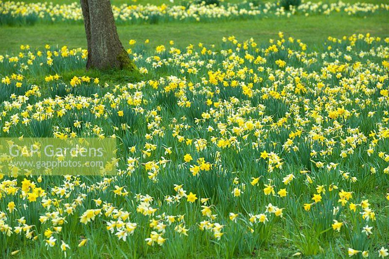 Narcissus pseudonarcissus - Wild Daffodil - and Narcissus obvallaris - Tenby Daffodil - naturalised in rough grass