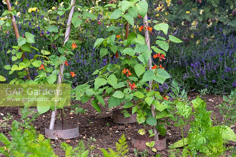 Young runner bean plants are trained up a cane wigwam support, their stems enclosed in a copper ring to deter slugs and snails.