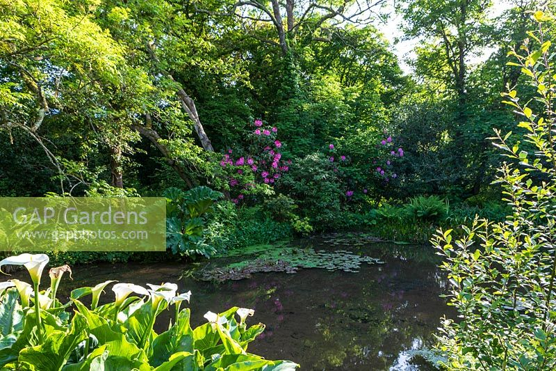 Shady woodland garden with pond, Gunnera manicata, Zantedeschia aethiopica - Arum Lily and Rhododendron planted at edge