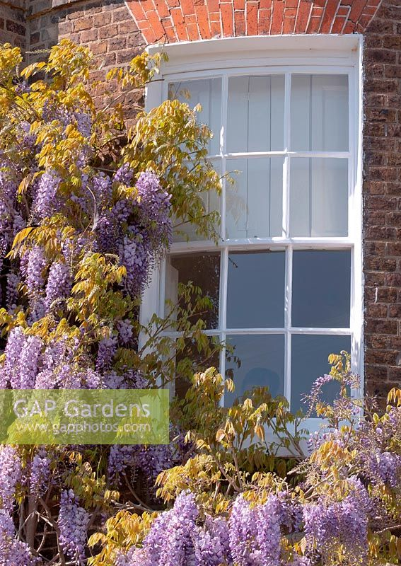 Wisteria sinensis growing around a rounded window on an old house in London, UK.