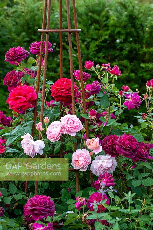 Metal obelisk surrounded by a mix of roses including 'L D Braithwaite', 'Darcy Bussell', 'Munstead Wood' and climbing pink 'Strawberry Hill'.