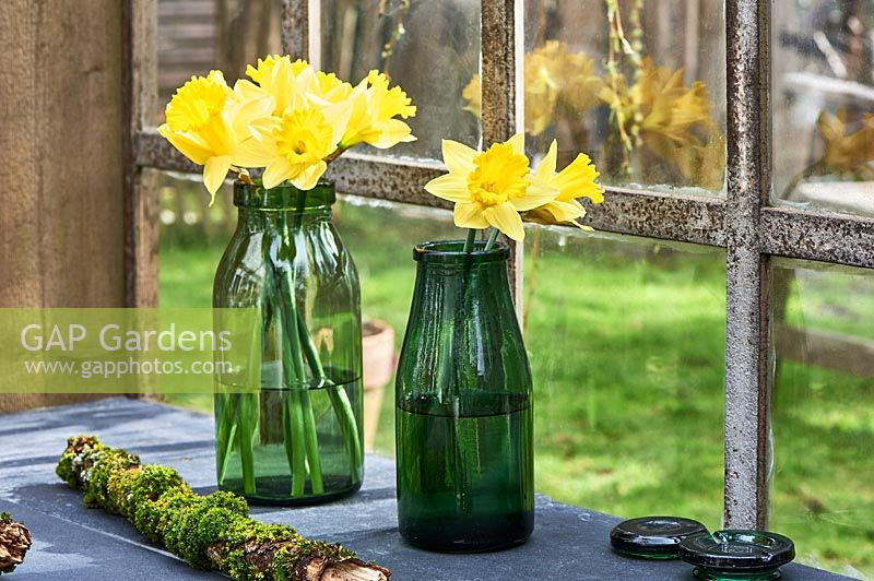 Narcissus - daffodils displayed in glass vases on windowsill.