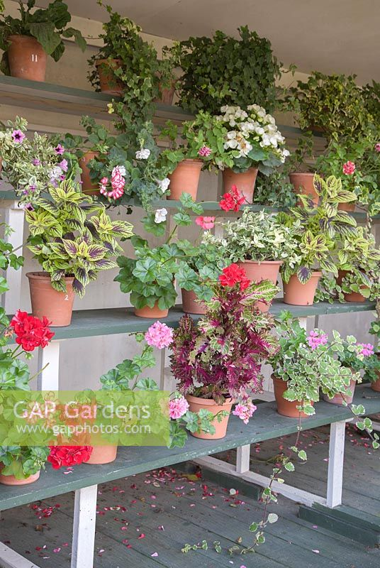 Selection of potted Begonia, Geranium and Hedera arranged in an Auricula Theatre.
