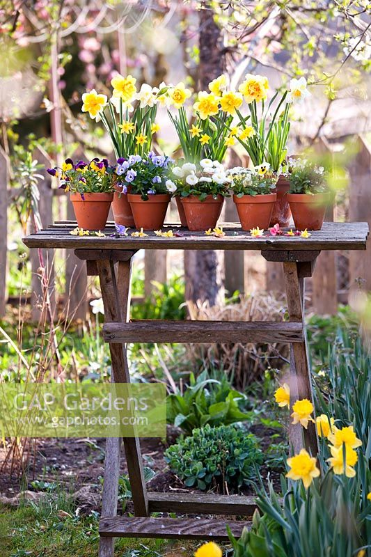 Spring flowers in terracotta pots on the table, including Narcissus - Daffodils, Bellis and pansies.