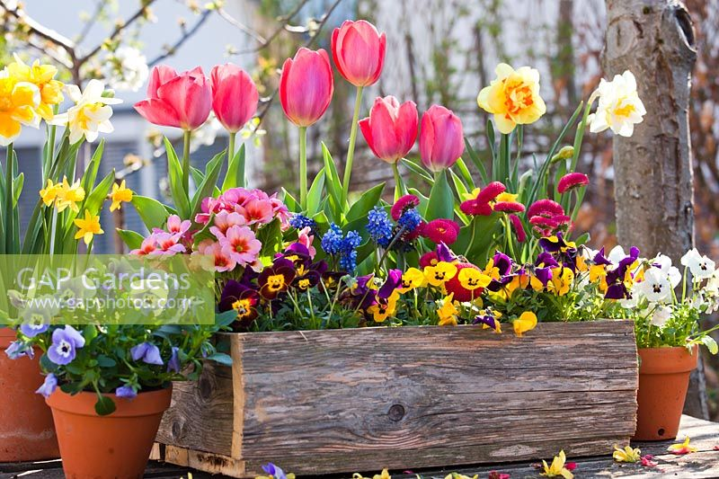 Spring flowers in wooden box and terracotta pot, including pansies, daffodils, tulips, Bellis and Muscari