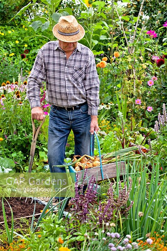 Man with a trug of harvested onions in vegetable garden.