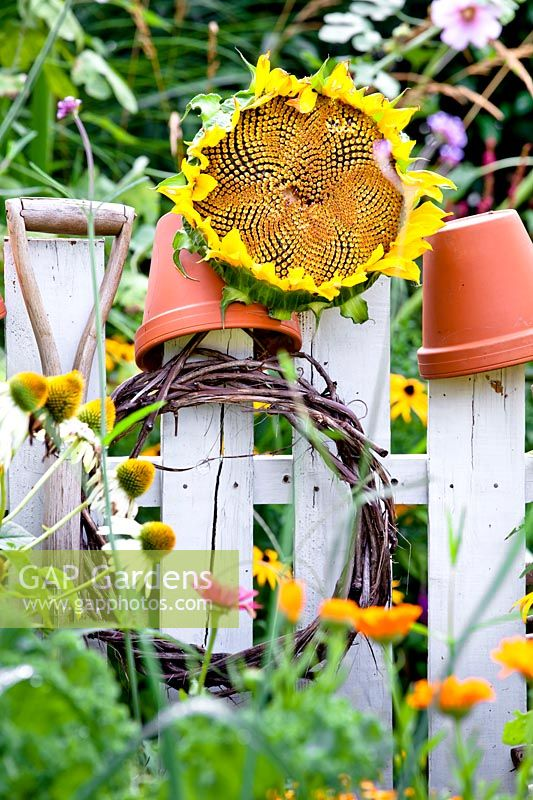 Sunflower drying on a fence.