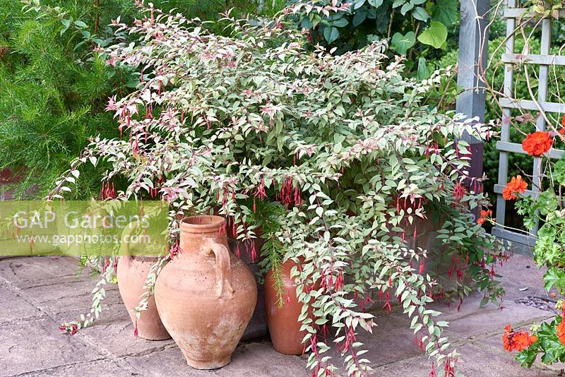 Fuchsia magellanica var. gracilis 'Versicolor' with terracotta pots.