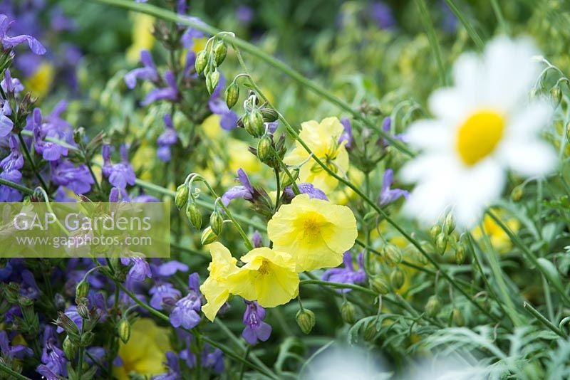 Salva officinalis and Helianthemum 'Wisley Primrose' with Anthemis cupaniana in the foreground