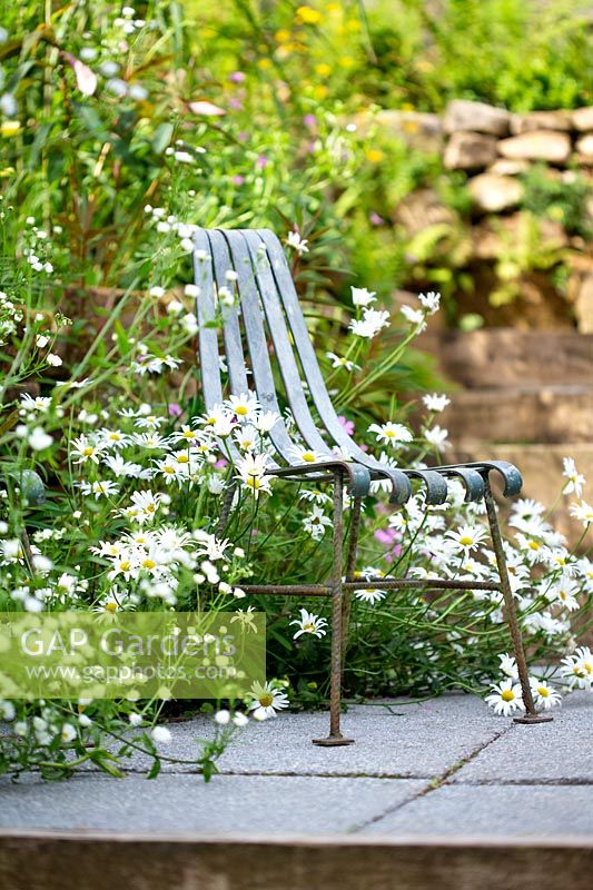 A metal chair and seating area set amongst Leucanthemum vulgare.