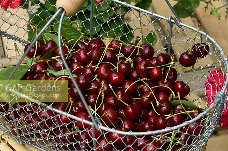 Wire basket of harvest cherries.