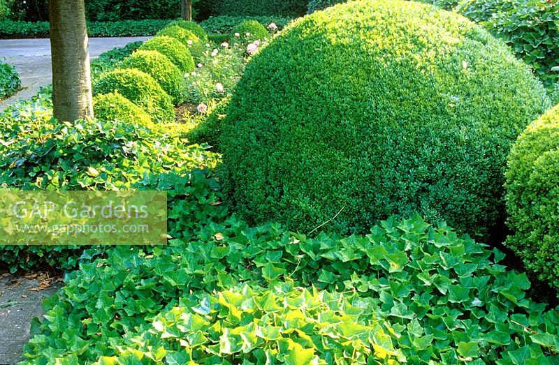 Clipped Box balls - Buxus spp. underplanted with Hedera - Ivy