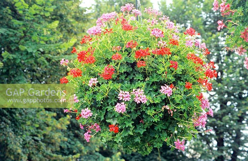 Hanging basket with trailing Pelargoniums in flower.