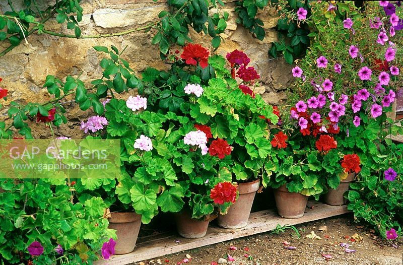 Row of potted geraniums in terracotta pots against brick wall.