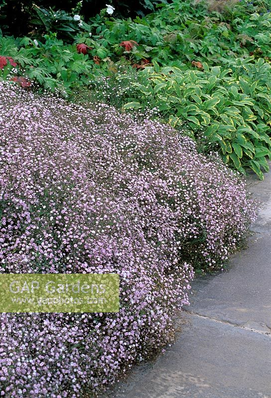Gypsophila at front of a bed with Salvia officinalis - Sage