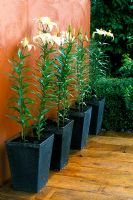 Row of four containers with cream lilies - Lilium