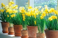 Narcissus 'Tete a tete', 'Jumblie' and 'Minnow' in pots on windowsill
