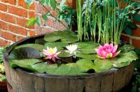 Barrel re-used as container pond with Nymphaea