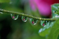 Relections of pink Camellia in row of water droplets